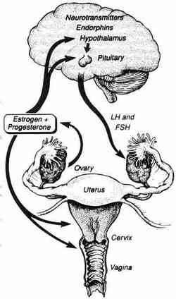 Hormones and the female body